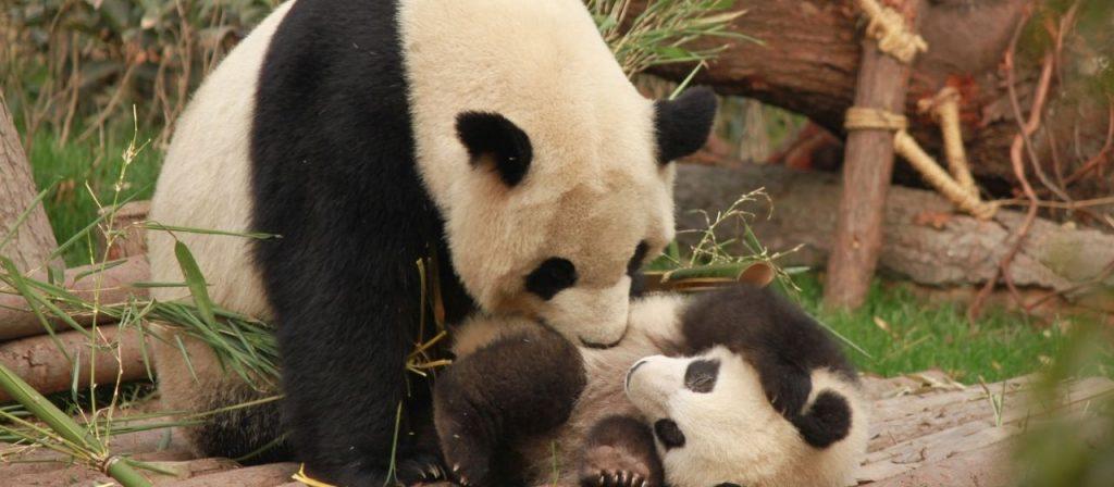 Panda Research Base in Chengdu